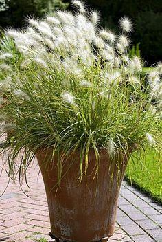 Graminée Pennisetum villosum Plus Plants, Garden, Cottage Garden, Garden Planters, White Gardens, Garden Tags, Grass, Outdoor Gardens, Garden Containers
