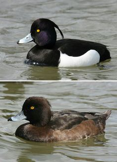 Tufted duck (A. fuligula
