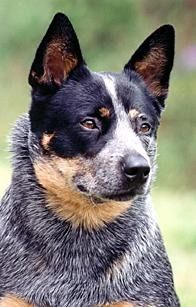 Australian Cattle Dog. Gorgeous dogs xoxoxox