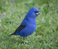 Blue Grosbeak by cometoseemerganser