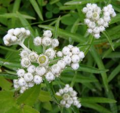 "Anaphalis margaritacea - Pearly Everlasting. 18"" spacing, 1/2 bed Farm Nursery, Plant Guide, Fall Plants, Plant Sale, Growing Flowers, Perennials, Everlasting Image, Minnesota Wild, Outdoor Ideas"