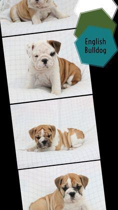 Baby Animals Super Cute, Cute Little Dogs, Cute Baby Dogs, Cute Little Animals, Cute Funny Animals, Bulldog Puppies For Sale, English Bulldog Puppies, Cute Puppies, English Bulldogs