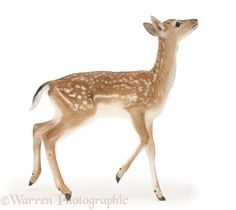 Photograph of Fallow Deer (Dama dama) fawn. Rights managed white background image. Forest Animals, Nature Animals, Woodland Animals, Animals And Pets, Deer Photos, Deer Pictures, Cute Animal Pictures, Bambi, Animal Paintings
