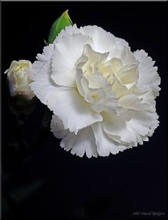 173 best white flowers images on pinterest white flowers carnations year round mightylinksfo