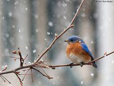 eastern bluebird - beautiful little birds do make you happy when you spot one!