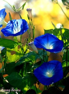Super Ideas For Screen Plants Morning Glories