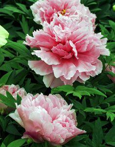 Buskpion, Paeonia 'Shintenchi' | Ny pion som blommar med stora halvfyllda blommor. Kronbladen är milt rosa, med något flikig kant där man kan ana rodnande strimmor. Höjd ca 1,5 m. Härdig i skyddat läge i stora delar av landet.