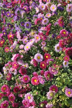 Chrysanthemum Border