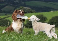 Amazing Sheep Dog Nurse