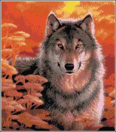 Gaze Grey Wolf