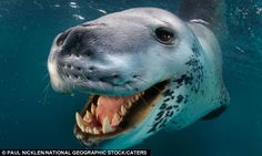 This is so amazing!  A friendly leopard comes to investigate underwater photographer Paul Nicklen