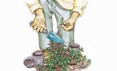 Pfefferminze ist eine der vielseitigsten Würz- und Heilpflanzen. Die Blätter sind mit ihrem hohen Anteil an Menthol in der Küche genau so gefragt wie als Basis für Erkältungstees. Hier lesen Sie, was Sie tun müssen, damit Sie auch im Winter frische Blätter ernten können.