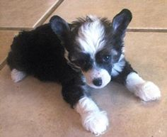 Chinese Crested Powderpuff This Is Exactly What My Dog