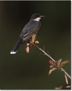 EASTERN KINGBIRD....I raised one of these when it fell from the nest.  It still had a piece of shell stuck on its head!  BEAUTIFUL bird it was!