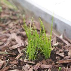 Gräslök Herbs, Garden, Plants, Food, Lilac, Decorations, Lawn And Garden, Herb, Gardens