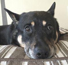 She Has A Big Heart ..Photo credit: Rambling Dream http://flic.kr/p/vvRkwE #rescuedog #dog #itsarescuedoglife