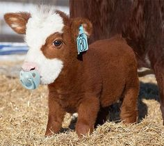 Things that make you go AWW! Like puppies, bunnies, babies, and so on. A place for really cute pictures and videos! Cute Baby Cow, Baby Animals Super Cute, Cute Cows, Cute Little Animals, Cute Funny Animals, Cow Pictures, Baby Animals Pictures, Cute Animal Photos, Baby Farm Animals