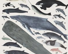 Creatures of the infraorder Cetacea- vintage inspired science poster by Kelsey Oseid
