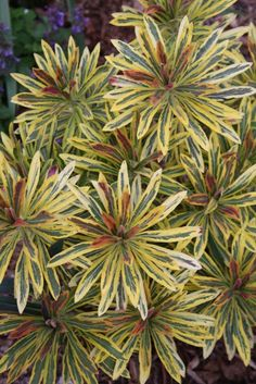 Euphorbia x martinii 'Ascot Rainbow' PP 21,401 (Ascot Rainbow Spurge)  LOVE THIS!!!