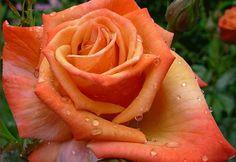 remember me hybrid tea rose | ... roses in my garden but my favourite is the hybrid tea rosa remember me