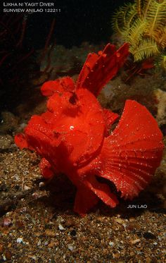 Red Ballerina Rhinopias Fish