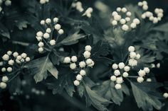 crataegus blossom by Ramazan KAMARI on 500px