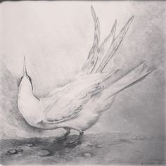 Tern, pencildrawing from 1989 by Kjersti Koløen