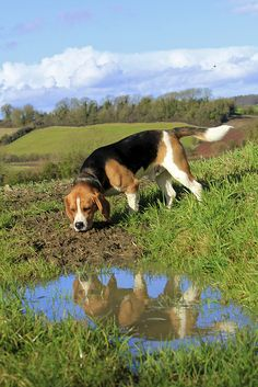 Reflected beagle (this is a beautiful beagle photo!!)