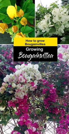 Growing Bougainvillea | How to grow Bougainvillea in a pot | Bougainvillea care