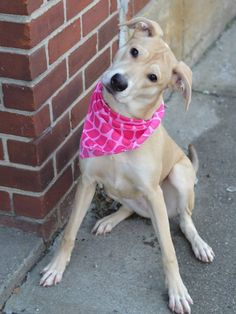 SAFE - 01/28/15 Brooklyn Center ZOE - A1025589 Pulled by Best Friends Animal Society Please honor your pledge: https://secure.bestfriends.org/page/contribute/bfny FEMALE, TAN, LABRADOR RETR / PIT BULL, 7 mos OWNER SUR - EVALUATE, NO HOLD Reason MOVE2PRIVA https://www.facebook.com/Urgentdeathrowdogs/photos/a.949152885097591.1073743316.152876678058553/950119241667622/?type=3&theater