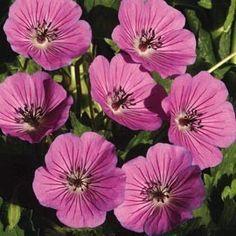 Géranium vivace 'Pink Penny'®