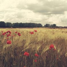 """Poppies and barley field, reminds me of """"A Room with a View""""."""