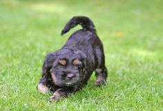 tibetan Terrier photo | Recent Photos The Commons Getty Collection Galleries World Map App ... Tibetan Terrier, Spaniels, Terriers, Galleries, Dog Cat, Puppies, App, Pets, Animals