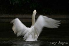 http://bussaco.com.sapo.pt/galerias/galeria_II/fotosII/2265Cisne_Branco.jpg