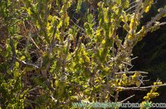 Acacia caven, Acacia caven Nombre científico: Acacia caven (Molina) Molina Familia: Mimosaceae = Leguminosae = Fabaceae Si bien su distribución abarca varias regiones chilenas y algunas provincias argentinas, se siente a sus anchas entre Valparaíso y Maule. Se le domestica sin problemas, sólo hace falta un poco de poda para mejorar la estructura y otro poco de paciencia para disfrutar de sus flores