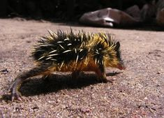 If a bumblebee and a hedgehog mated, the lowland streaked tenrec would be its rather bizarre spawn. Found in Madagascar, these bristly creatures are covered in yellow and brown striped quills, which they use to attack their enemies.
