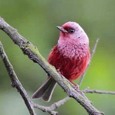 "Chipe Rosado: Pink-headed Warbler is a visual treat. Adult birds seen in good light are an eye-catching red, with a silvery-pink head and chest. In Spanish, this species is called cabeza plateada, ""silvery head,"" or chipe rosado, ""rose-colored..."