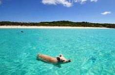 Sure, when pigs can swim! Click to view: 25 Animals Who Are Stoked For Summer!