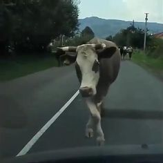 Funny Cow Videos, Funny Cow Pictures, Funny Horse Pics, Funny Cows, Funny Animal Jokes, Funny Animal Photos, Cute Cows, Cute Animal Videos, Cute Animal Pictures