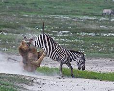 ruade-zebre