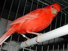 Canarini di colore - Wikipedia