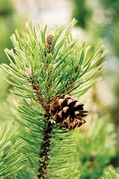 ♥♥ Pine cone ~ my mom loved pine cones so much and she always decorated with them every fall and winter <3