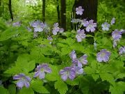 Native Michigan plant:  Wild geranium /  Geranium maculatum. Habitat:    Light: shade - pt. sun    Moisture: mesic - dry mesic    Height: 1 -2 ft.    Flowering Time: spring Notes: compact bushy form; attractive leaves; blooms in spring; a long-lived perennial, spreads well from seed, given time.    Range in Michigan: SE,SW,NL,UP