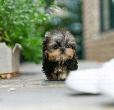 Yorkies Puppy List, Terrier Mix Dogs, Yorkie Puppy, Yorkies, Yorkshire Terrier, Backyard Landscaping, Landscape Design, Puppies, Animals