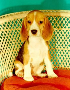 beagle puppy by chasity Puppies And Kitties, Cute Puppies, Cute Dogs, Doggies, Baby Animals, Cute Animals, Beagle Puppy, Snoopy, Animales