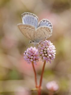 Pale Grass Blue © Polotaro