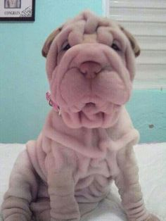 . Shar Pei Puppies, Cute Puppies, Cute Dogs, Dogs And Puppies, Animals And Pets, Baby Animals, Cute Animals, Wrinkly Dog, Sharpies
