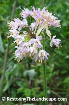 Nodding Onion ~ Allium cernuum