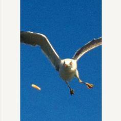 [はとバス*2010/08/21]    はとバスの日帰りツアー    京湾クルージングで    他の人がかっぱえびせん投げるけん    カモメ(ウミネコ?)がずっとついてきたお(((;꒪ꈊ꒪;)))    写真は、その投げられたかっぱえびせんに向かってきとるとこ!!!      @東京湾