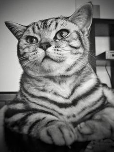 Paco, a British shorthair silver tabby, 7 months old.